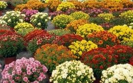 Un arc-en-ciel de chrysanthèmes